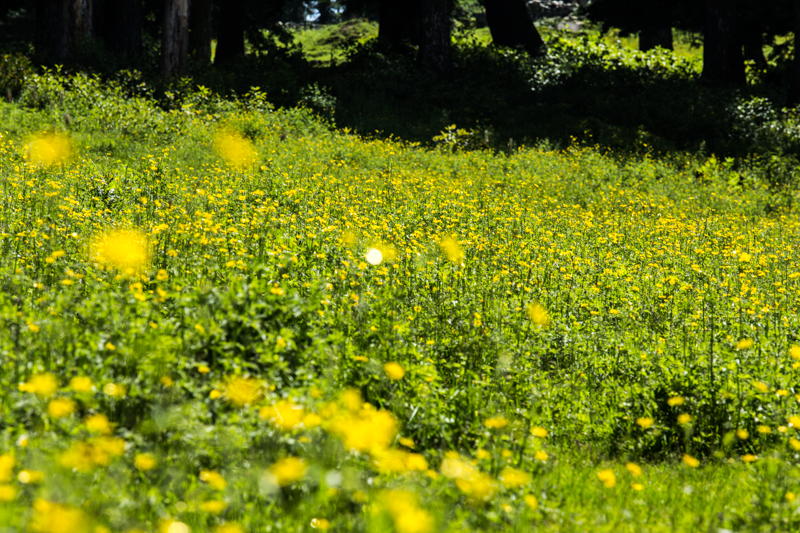 Carpet of yellow flowers, to Gulmarg